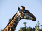 Giraffe at Addo Elephant National Park