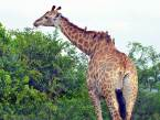 Giraffe and oxpeckers at Hluhluwe