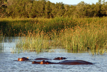 Hippos at St. Lucia estuary