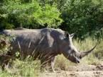 iSimangaliso Wetland Park beautiful Rhino