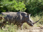 iSimangaliso Wetland Park beautiful Rhino