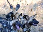 Pack of African wild dogs in South Africa