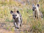 Hyena cubs Kruger