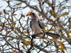 Yellow-billed hornbill Kruger National Park