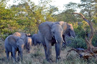 Herd of Elephants in Kruger National Park
